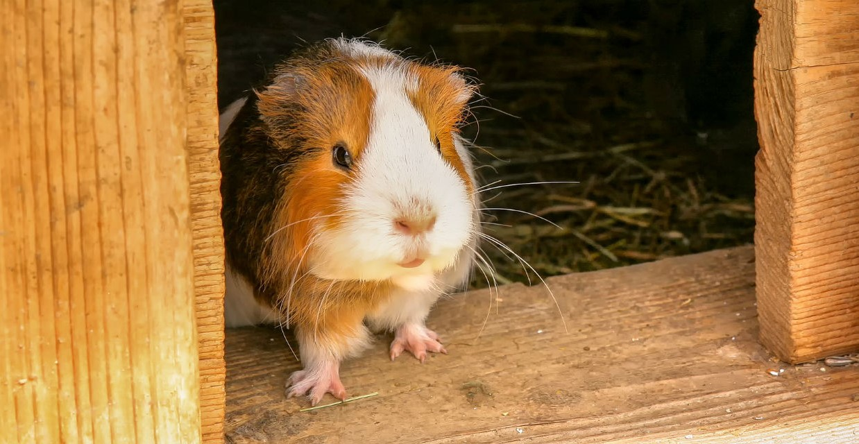 Guinea Pig House - What to Consider